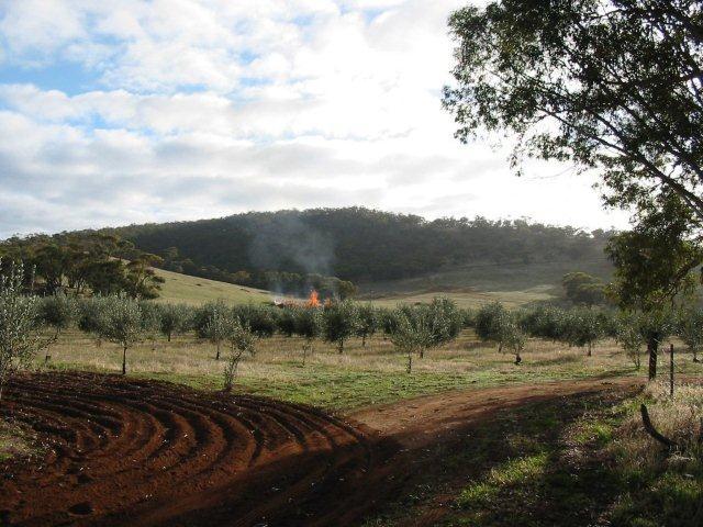 Waylen Farm olive grove